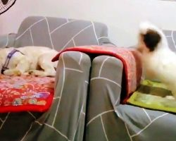 Tiny Puppy Can't Take A Hint, Keeps Following Brother Who Wants To Take A Nap