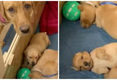 Mama Dog Doesn't Understand How Come New Pups Aren't Able To Play Ball With Her