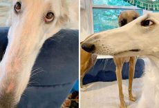 Meet Eris, The Borzoi Sighthound Dog With The World's Longest Nose
