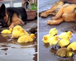 Dog Just Can't Get Enough Of The New Ducklings, Watches Over Them Like An Angel