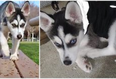 Woman Answers Knock At Her Door, Man Kicks Her To Ground & Steals Her Husky