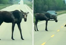Mama Moose Begs Motorists To Stop Their Cars So Her Baby Can Cross The Road