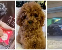 GrubHub Delivery Guy Drops Off Pizza & Dognaps Man's Teacup Poodle