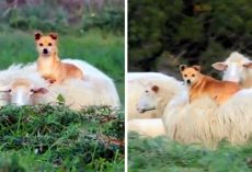 """Lazy"" Herding Dog Hitches A Ride On A Sheep's Back, Shows Us How To Work Smart"