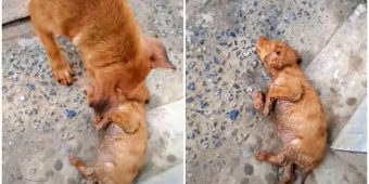 Dog That Can't Rouse Baby Wails At Strangers, Woman Stopped To Separate Them