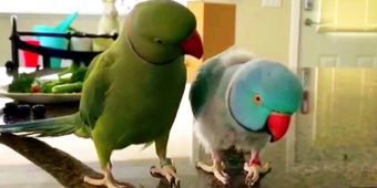 Parrot Comforts His Extremely Sick Brother, Gives Him The Sweetest Hug Ever