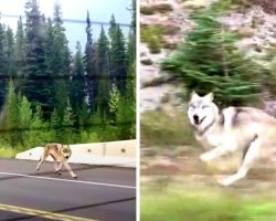 """Grey Wolf Chases Family Car On Freeway, But Some Think He's """"Not A Wolf At All"""""""