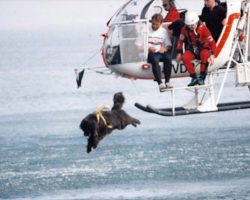 Italian Lifeguard Dogs Courageously Jump Out Of Helicopters To Save Countless Lives