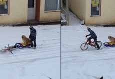 Little Boy Carefully Readies His Dog For A Sled Ride On The Empty Streets
