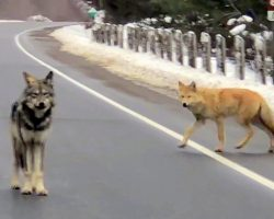 He Stood In The Middle Of The Road But A Wolf Walked Up Right Behind Him