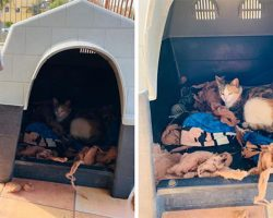 Pit Bull Gives Up His Doghouse So Stray Cat Has A Safe Place To Give Birth