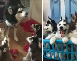 Mama Husky Teaches Her Puppies To Howl With Adorable Coaching Session