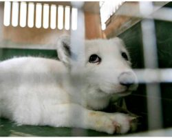 Scared Baby Fox On Illegal Fur Farm Looked Up At Man & Pleaded To Be Freed