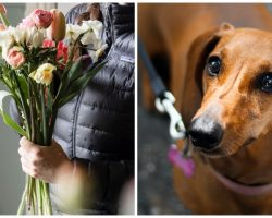 Dachshund's Owner Thought It Was Okay For Dog To Eat Toxic Spring Flowers