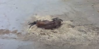 Street Dog Trying To Find Any Sort Of Comfort Takes To Hay Pile In The Road