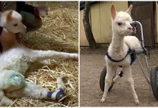 Alpaca Survives Difficult Birth That Killed Mom, Learns To Live Without Hind Legs
