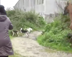 Woman Runs Into A Pack Of Dogs To Save A Fox As Hunters Yell At Her