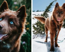 This Brown Siberian Husky Is One of the Most Beautiful Dogs on Instagram
