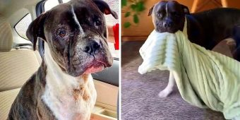 Bait Dog Saved From A Fighting Ring Carries His Security Blanket Everywhere Now
