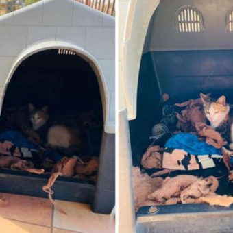 Compassionate Pit Bull Invites Pregnant Stray Cat Into His House To Have Her Babies