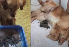 Golden Retriever Sees Cat Nursing Her Kittens, Mimics Being A Mama