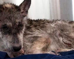"""They Came In To Rescue A """"Wolf"""", But Soon Realized It Was """"Not A Wolf"""" At All"""