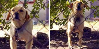 Labrador Was Kept On A Short Chain And Beaten All His Life By Alcoholic Owners