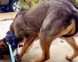 Slaughterhouse Dog Always Tucked His Tail Between His Legs & Shivered Until He Met His Forever Family