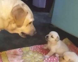 Mama Dog Scolds, Shuts Down Her Misbehaving Puppies