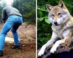 Man Saves A Dying Wolf And Her Cubs, Years Later The Wolf Returns The Favor