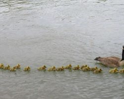 Mother Goose Takes Care Of 47 Babies And Keeps Them All Safe