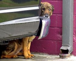 "Homeless German Shepherd ""Cries Like A Human"" Whenever Anyone Gets Too Close"