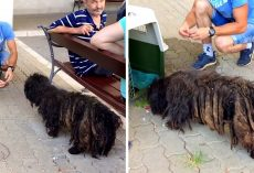 Abused Dog Had So Much Matted Fur They Couldn't Tell How Big He Was Underneath