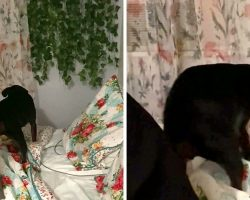 Senior Rescue Dog Won't Accept Help And Chooses To Tuck Herself In Every Night