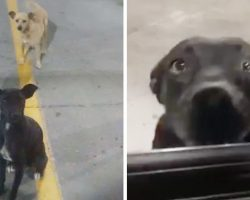 Two Stray Dogs In Parking Lot Wag Their Tails At Everyone In The Hopes Of Being Adopted