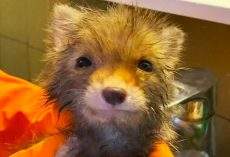 Flea-Infested Orphan Baby Fox Became Completely Attached To Human After Rescue