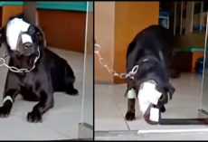Dog Treated Cruelly Boldly Strives To Take A Step Back Into The Scary World