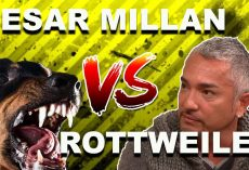 "Cesar Millan: How To Use The ""Redirection Method"" To Calm An Aggressive, Overprotective Rottweiler"