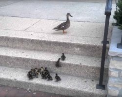 Mother Duck Looks On While 12 Of Her Ducklings Try To Overcome A Huge Obstacle, The Stairs