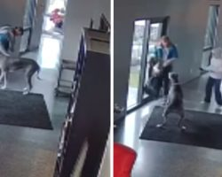 Man Breaks In And Pets Dog, Great Dane Changes His Tune When Mom Yells At Intruder