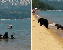 Sunbathers Shocked When Momma Bear Take Her Cubs For a Dip In Lake Tahoe