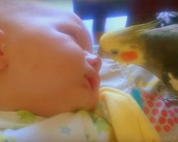 Motherly Cockatiel Kisses & Sings To Sleeping Baby, Helps The Baby Sleep Better