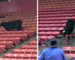 Runaway Cow Causes Ruckus At RodeoHouston, Hilariously Escapes Into The Stands