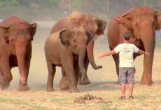 Man Rounds Up An Elephant Herd With A Brave Call, Incredible Scene Caught On Cam