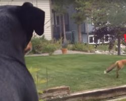 Wild Fox Begins Playing With This Dog's Toy, And It's Making The Dog Hilariously Jealous