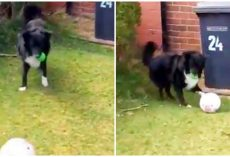 Playful Pup Doesn't Let Mailman Deliver The Mail Until He Plays Soccer With Him