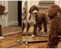 Doodle Pup Spots Reflection In Mirror For First Time, Launches Cuteness Attack