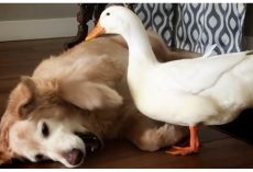 Silly duck annoys Golden Retriever until they become the best of friends