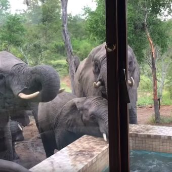Man Wakes Up To See Lots Of Elephants Drinking From His Swimming Pool