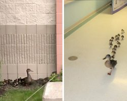 Lucky Hospital Undergoes Adorable Yearly Tradition Thanks To This Plucky Momma Duck